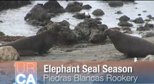 Cambria Elephant Seal Video